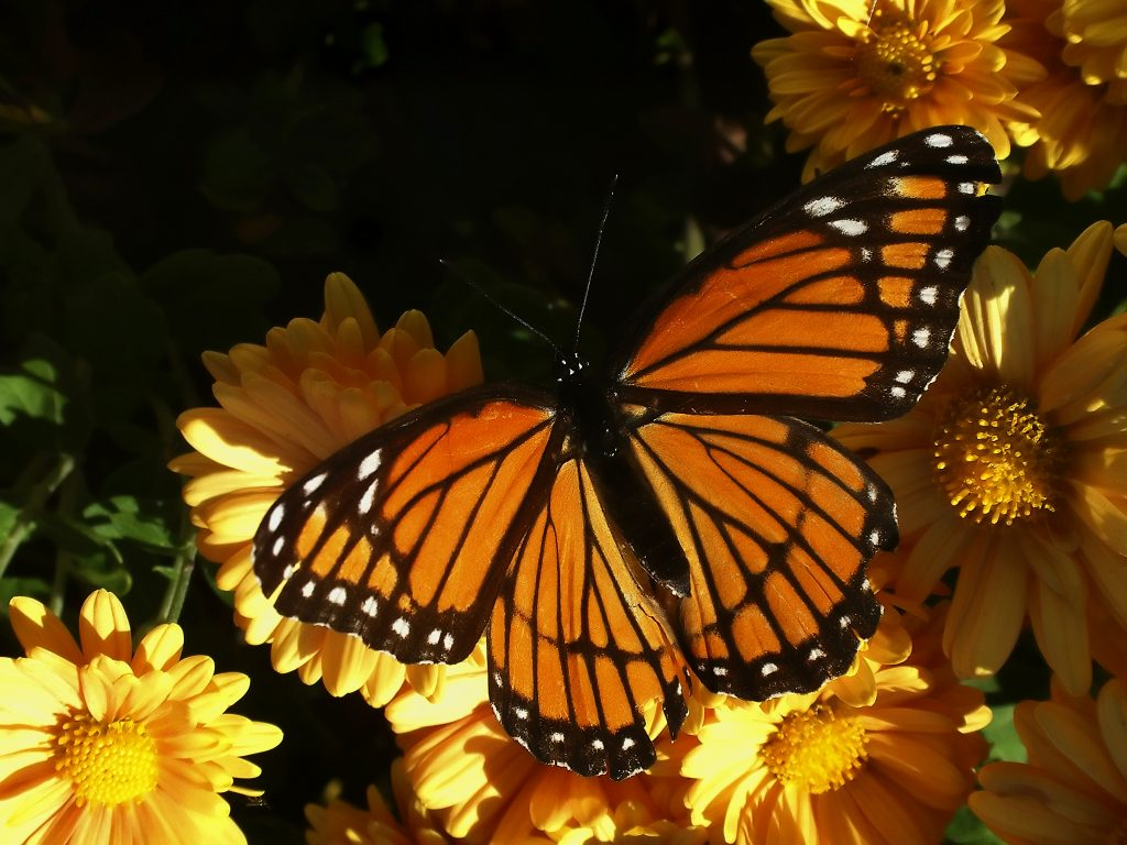 STREAM in action: The Monarch Rescue Project
